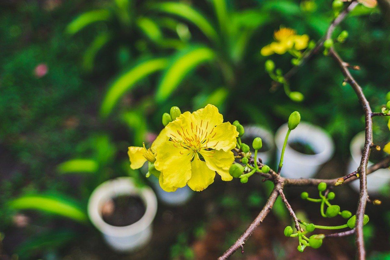 hoa mai vườn babylon